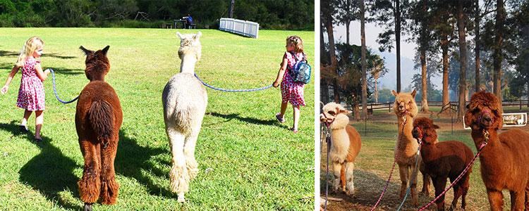 Top Gold Coast Kids Activities Mountview Alpaca Farm